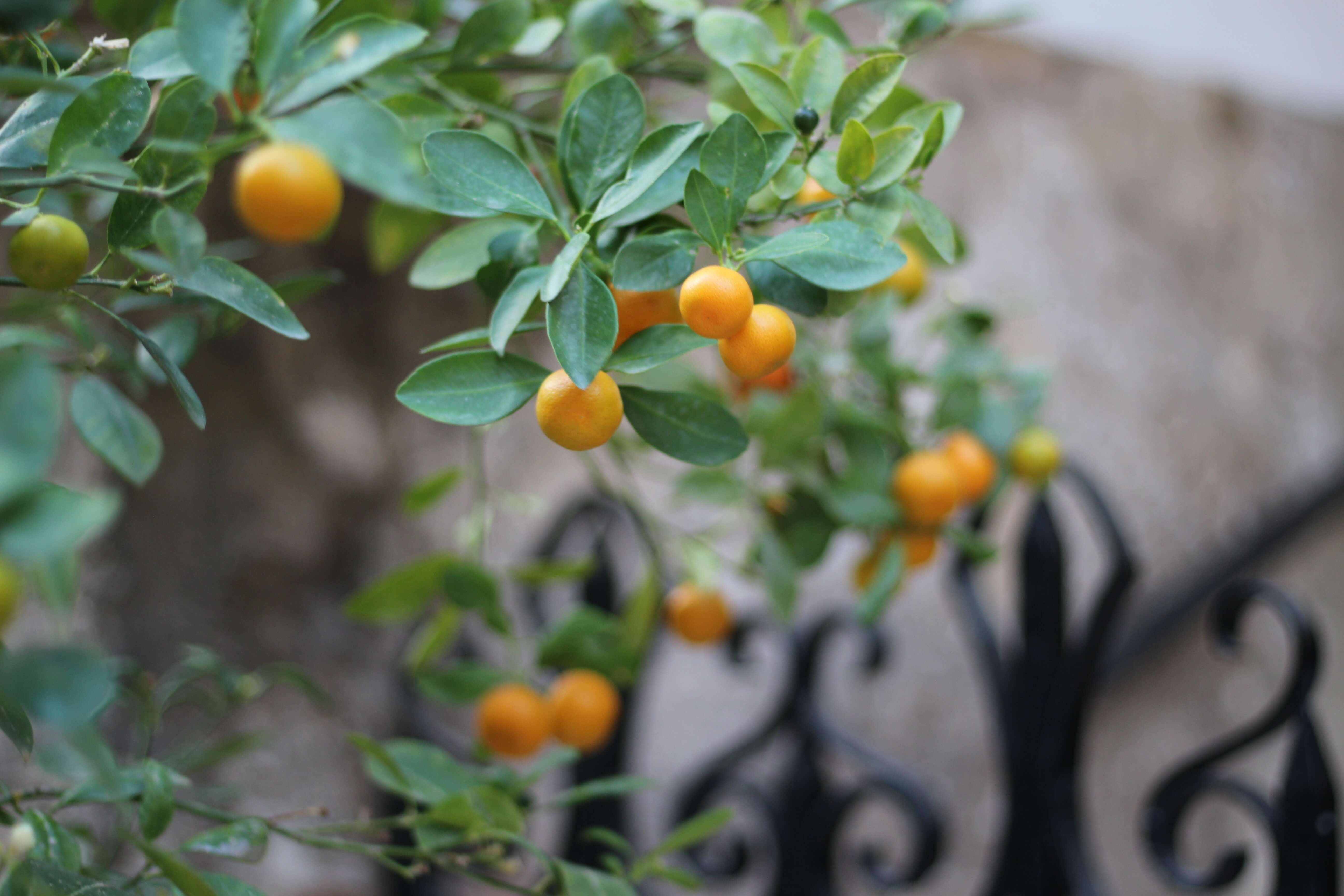 Orange Tree Spain