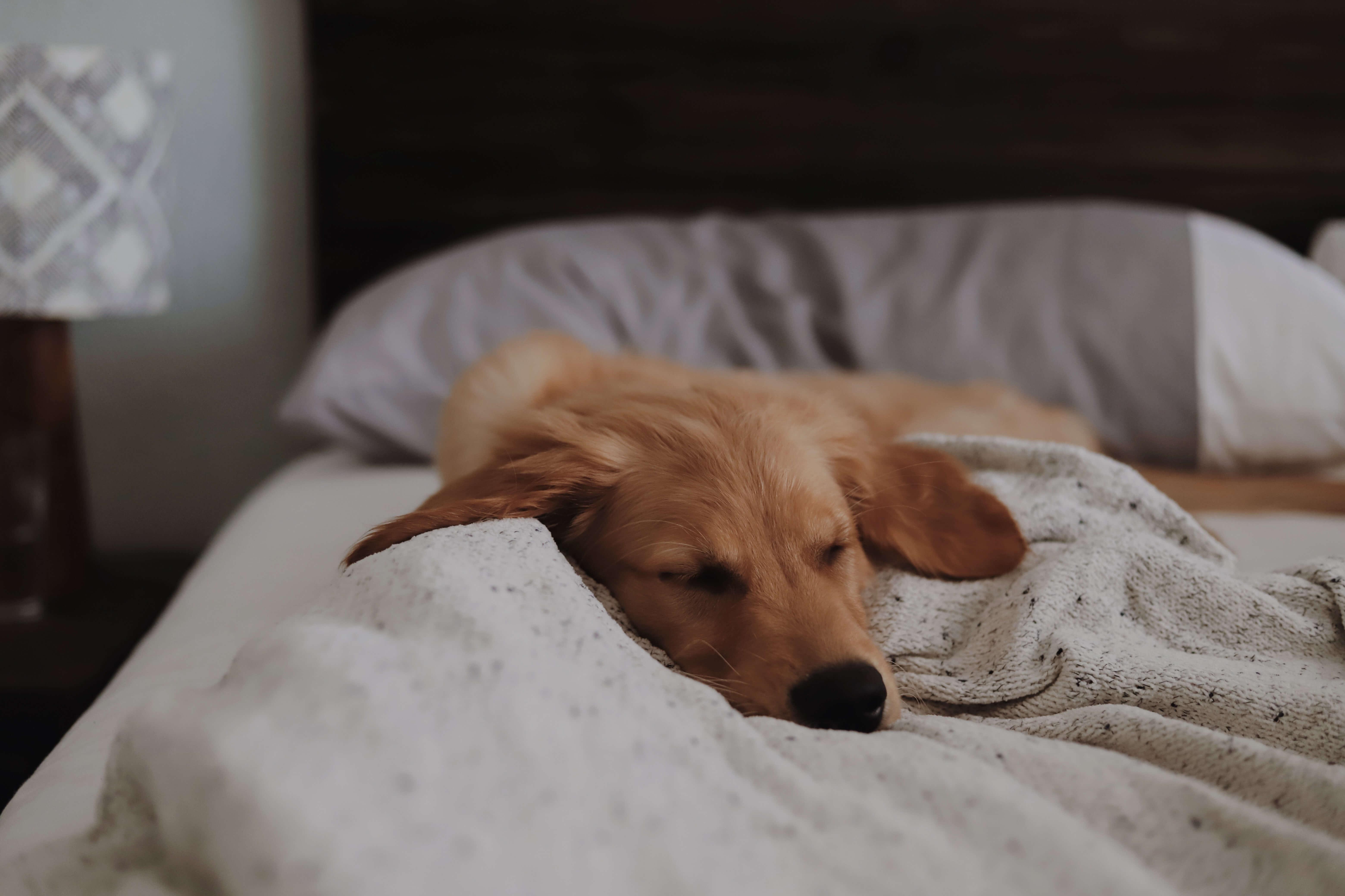 sleepy dog following dog laws in spain